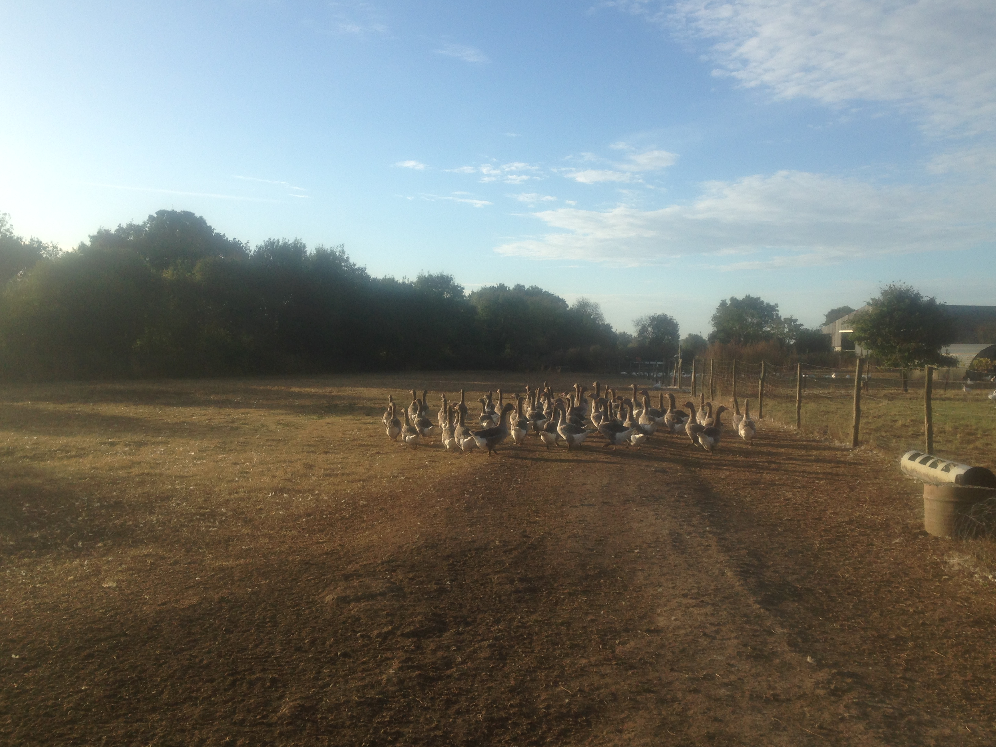 Les volailles profitent à nouveau d'une belle herbe !!!
